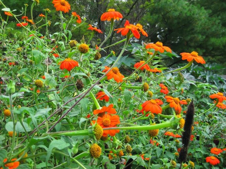 Tithonia rotundifolia 'Torch' 09